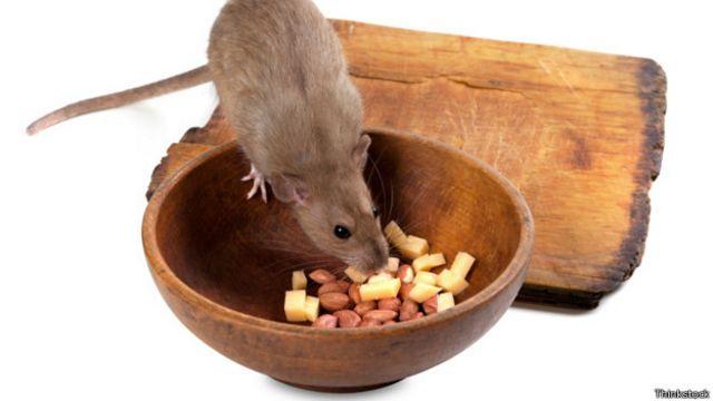 Крыса ест из миски