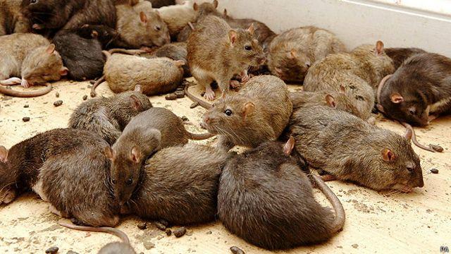Por qué nos están invadiendo las ratas - BBC News Mundo