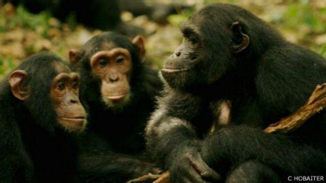 باحثون يترجمون بعض الحركات في لغة الشمبانزي - BBC News عربي