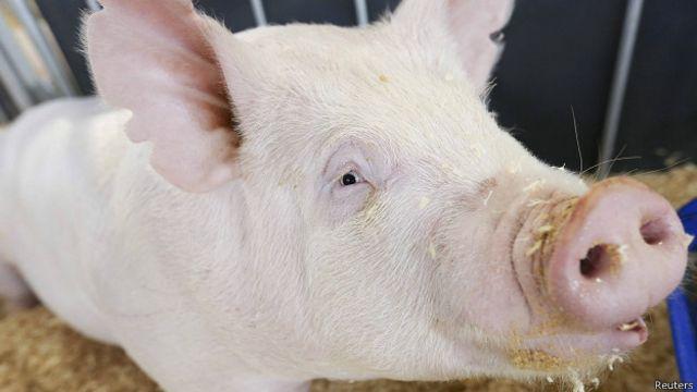 Свинья на выставке свиноводства