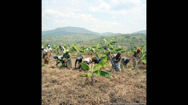Cooperativa Plantación Bananera, Huye District, Ngoma Village, Ruanda.