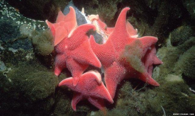 Estrella de mar cojín