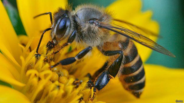 Guía ilustrada: lo que quizás no sabe de las abejas - BBC News Mundo