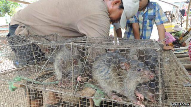 Las ratas de los campos de arroz de Camboya son consideradas un manjar en Vietnam.