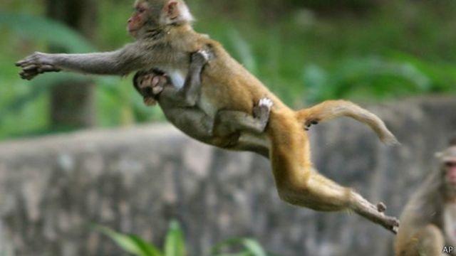 很多印度教徒把彌猴視為神聖的,並餵養彌猴。