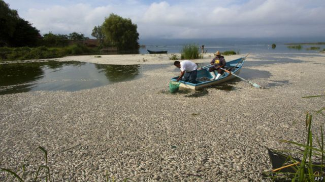 Peces muertos en la laguna de Cajititlán