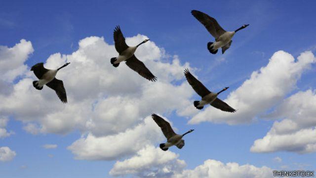 Gansos en pleno vuelo