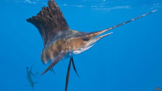 Marlín o pez vela