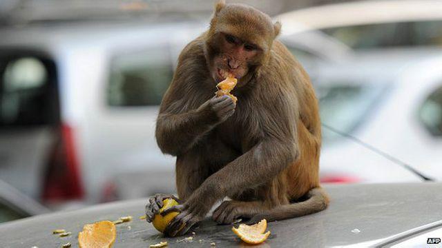 Macaco come laranha roubada de vendedor em Nova Délhi, em 5 de dezembro de 2012 | Foto: AFP
