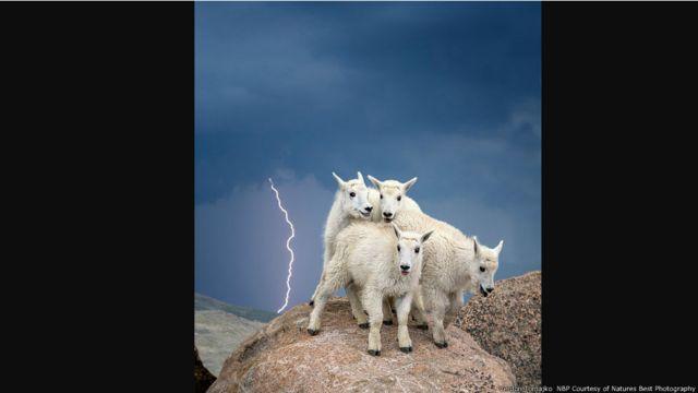 Un grupo de cabras en Mount Evans, Colorado, durante una tormenta. Imagen de Verdon Tomajko, cortesía de Nature's Best Photography