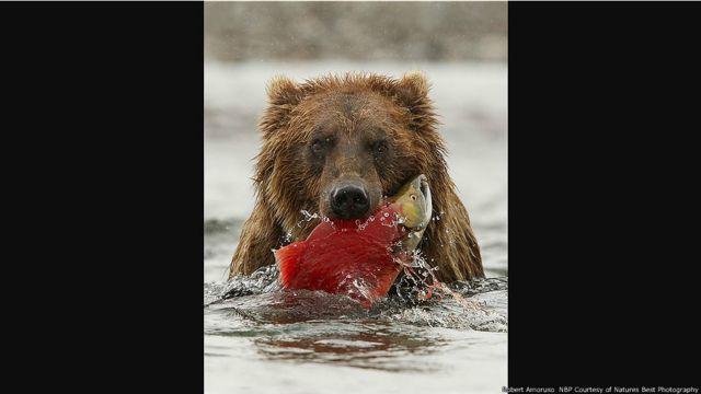 Un oso en Katmai National Park and Preserve, Alaska. Imagen de Robert Amoruso, cortesía de Nature's Best Photography