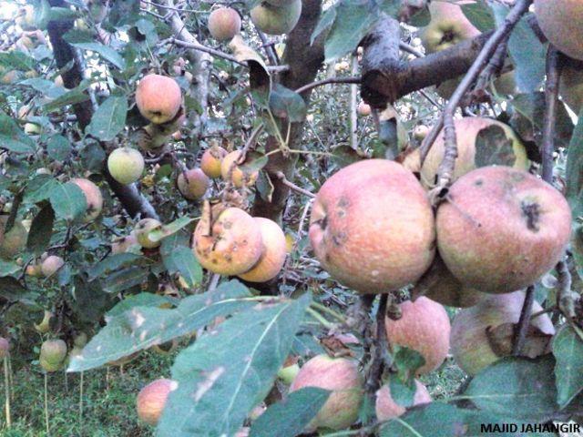 कश्मीरी सेव