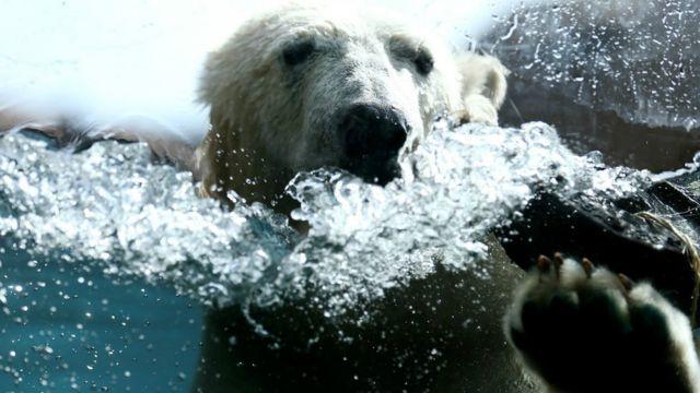 अमरीका के मिनेसोटा के एक चिड़ियाघर में दो ध्रुवीय भालूओं का शो.