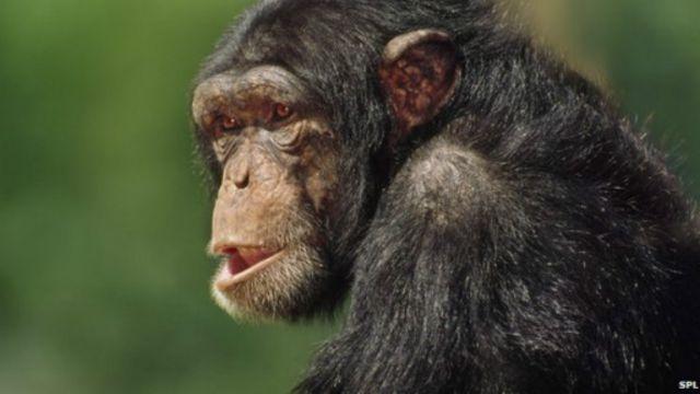 يرى العلماء أن الفيروس انتقل في البداية من قرود الشمبانزي إلى الإنسان