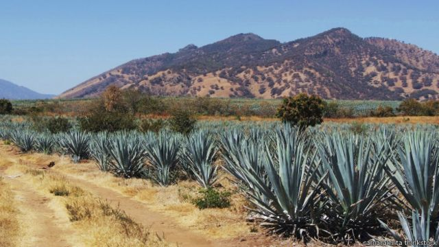Cây thùa (agava plant) được dùng để sản xuất ra ba loại rượu Mexico khác nhau