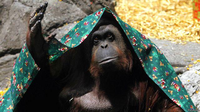 Орангутан Сандра в зоопарке (фото 2010 года)