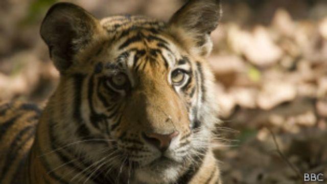 ကျားပေါက်တွေကို နိုင်ငံတကာကို လှူဒါန်းဖို့ အိန္ဒိယက ဆန္ဒရှိတယ်လို့ ဆို