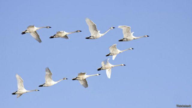 Cómo Se Organizan Los Pájaros Para Volar En Bandada Bbc News Mundo