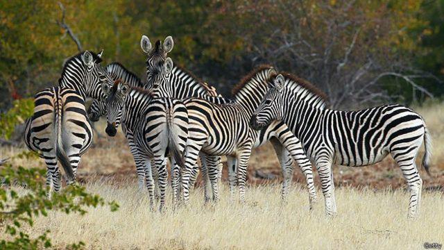 Ngựa vằn là một trong số các loài động vật được các vườn thú ưa chuộng