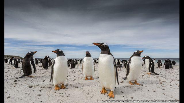 Pingüinos papúa, Islas Falklands o Malvinas. Barry Robertson