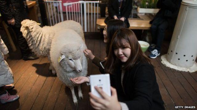 Девушка, фотографирующаяся с овцой