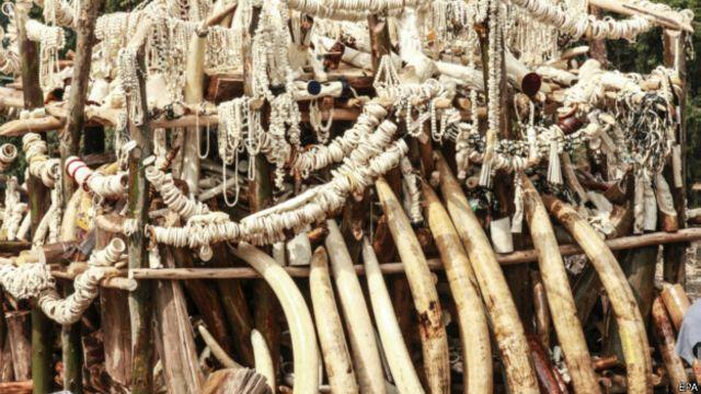 عاج قاچاق در آدیس آبابا پایتخت اتیوپی که آماده انتقال به شرق آسیاست. اتیوپی در دهه هفتاد میلادی بیش از پانزده هزار فیل داشت اما اکنون تعداد آنها کمتر از دو هزار است