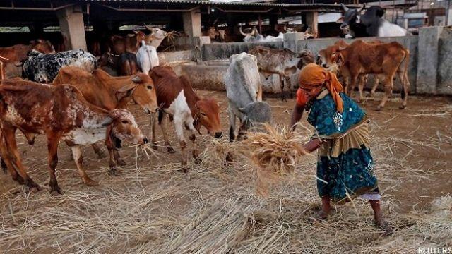 गाय, भारत