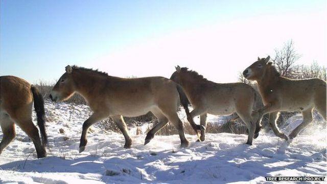 Caballos Przeswalskis, una especie en peligro de extinción, fueron dejados sueltos deliberadamente en la zona como parte de un proyecto de conservación.
