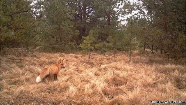 El zorro rojo es otra especie que parece estar sacando provecho del medioambiente alejado de los humanos.