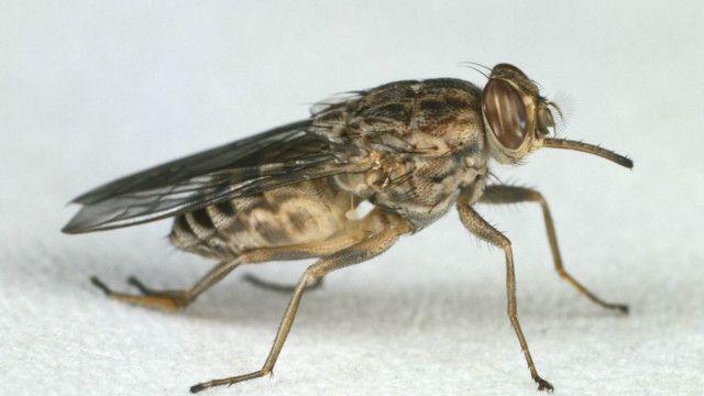 یہ مکھی اپنے لمبے ڈنگ سے جانوروں اور انسانوں کا خون چوستی ہے