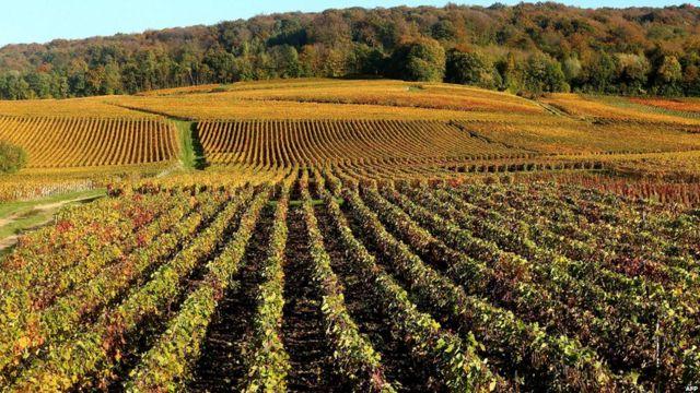 مزارع الكروم في شمباني شرقي فرنسا، الشهيرة بإنتاج الشمبانيا التي تأخذ اسمها من اسم المنطقة.