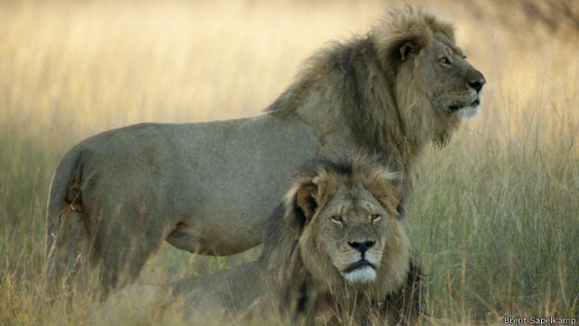 La última foto conocida de Cecil el león