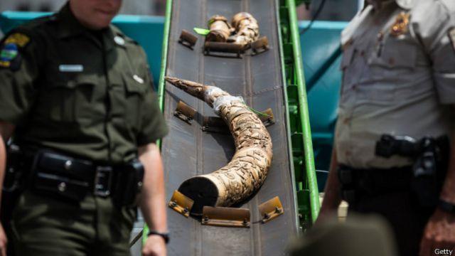 Cuerno de marfil confiscado en EE.UU.