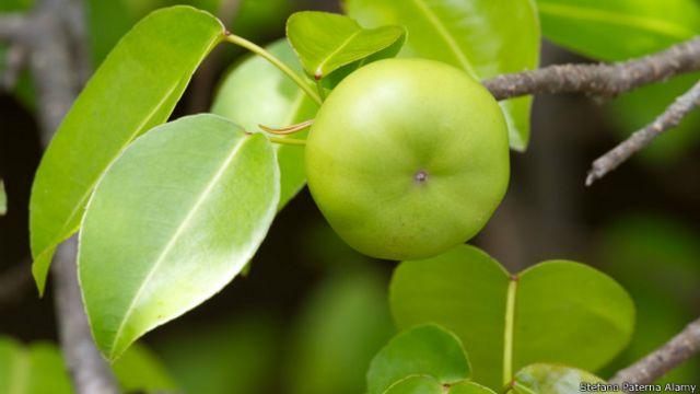 Comer el fruto del manzanillo puede ser letal debido a los vómitos severos y diarrea que produce.