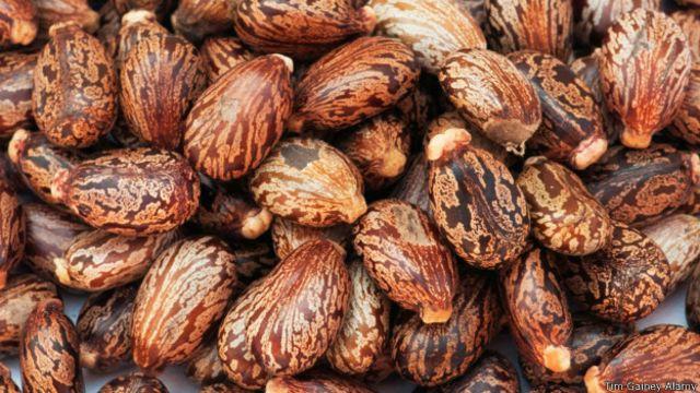 Cuando se extrae el aceite de la Ricinus communis de las semillas lo que queda en ellas es un poderoso cóctel de toxinas.