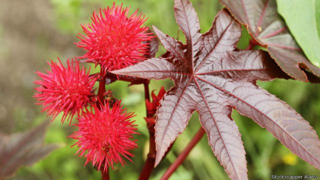 La Ricinus communis es muy apreciada en los jardines de verano por su colorido.
