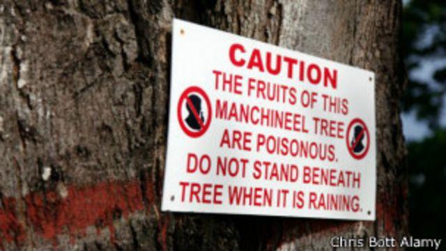 Un aviso para mantenerse alejado del manzanillo. El conocimiento de las plantas peligrosas podría salvarte la vida.