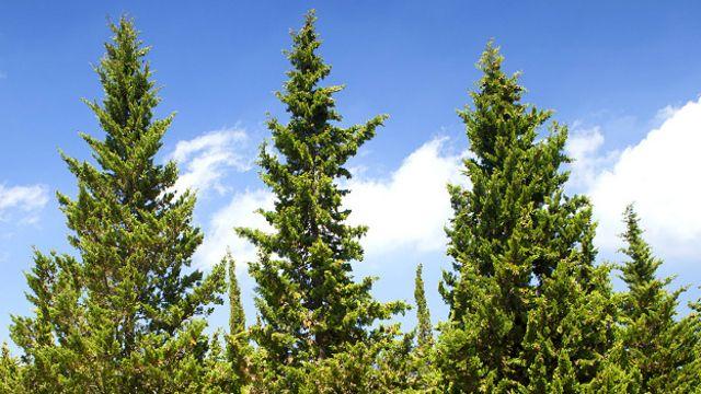 O novo estudo se baseou no cipreste mediterrâneo do tipo horizontalis, em que os ramos são ficam presos ao tronco em um ângulo de 45 ou 90 graus