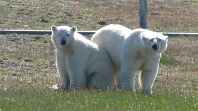 Dos de los cinco osos polares que tienen sitiados a científicos en el Ártico