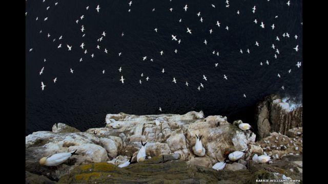 Barrie Williams ရိုက်ယူခဲ့တဲ့ ချောက်ကမ်းပါးပေါ်မှာ ပျံဝဲနေတဲ့ ပင်လယ်ငှက်များ