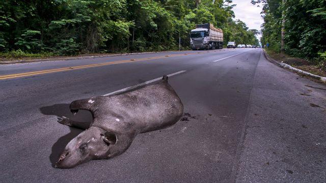 Em um ano, ao menos quatro antas foram atropeladas no trecho crítico da BR-101; 20 mil animais são mortos por mês em segmento de 25 km