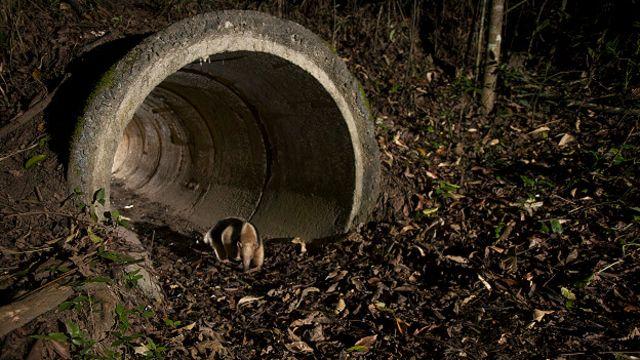 Tamanduá-mirim faz travessia por manilha construída na origem da BR-101 para escoamento de água
