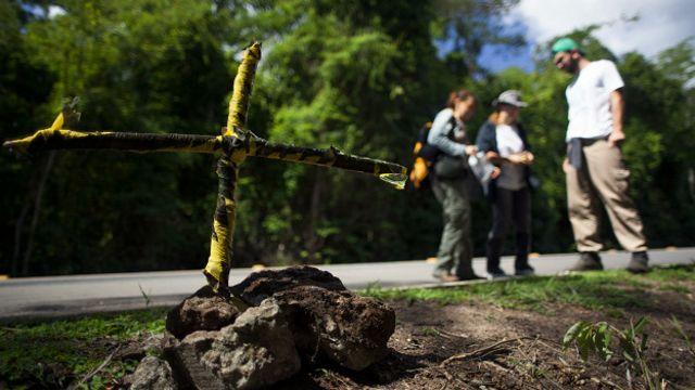 Cruz deixada por pesquisadores em local onde harpia foi encontrada morta na BR-101