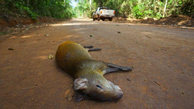 Cutia atropelada em estrada de terra dentro da Floresta Nacional de Carajás, no Pará
