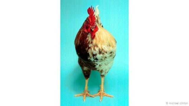 Un pollo ginandromorfo