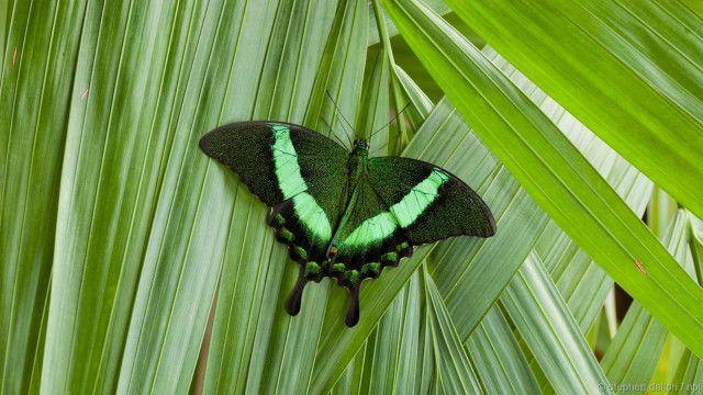 Kupu-kupu layang-layang