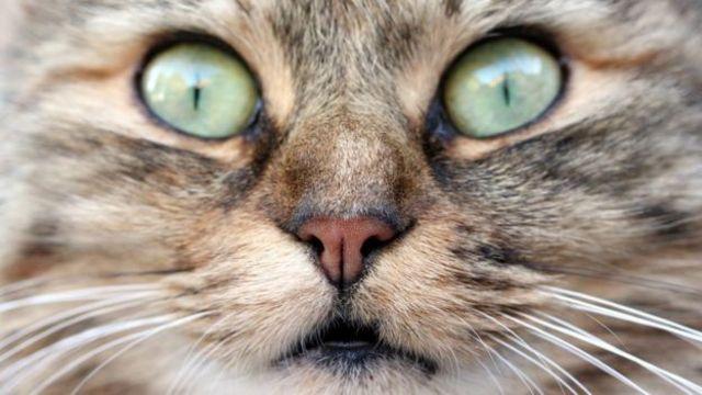 Los gatos llegaron a Australia con los primeros colonos europeos.