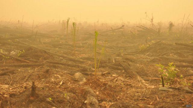 Sejumlah bibit sawit ditanam di lahan bekas kebakaran di Nyaru Menteng, Kalimantan Tengah.