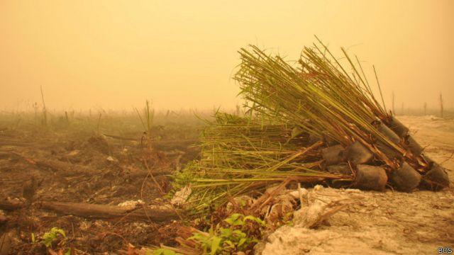 Bibit-bibit kelapa sawit yang belum sempat ditanam ditinggalkan di lahan bekas kebakaran.