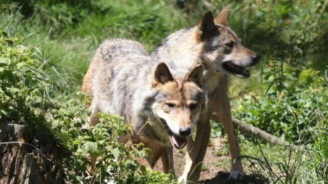 法國,狼越來越多,與人的衝突越來越嚴重